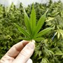 Caution urged for cannabidiol in epilepsy
